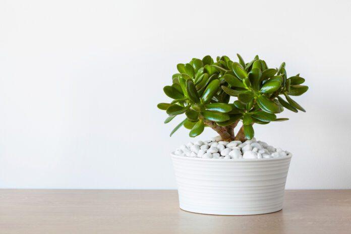 Jade plant benefits