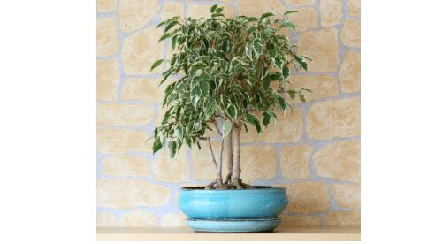 Care for weeping fig