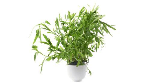 French tarragon plant