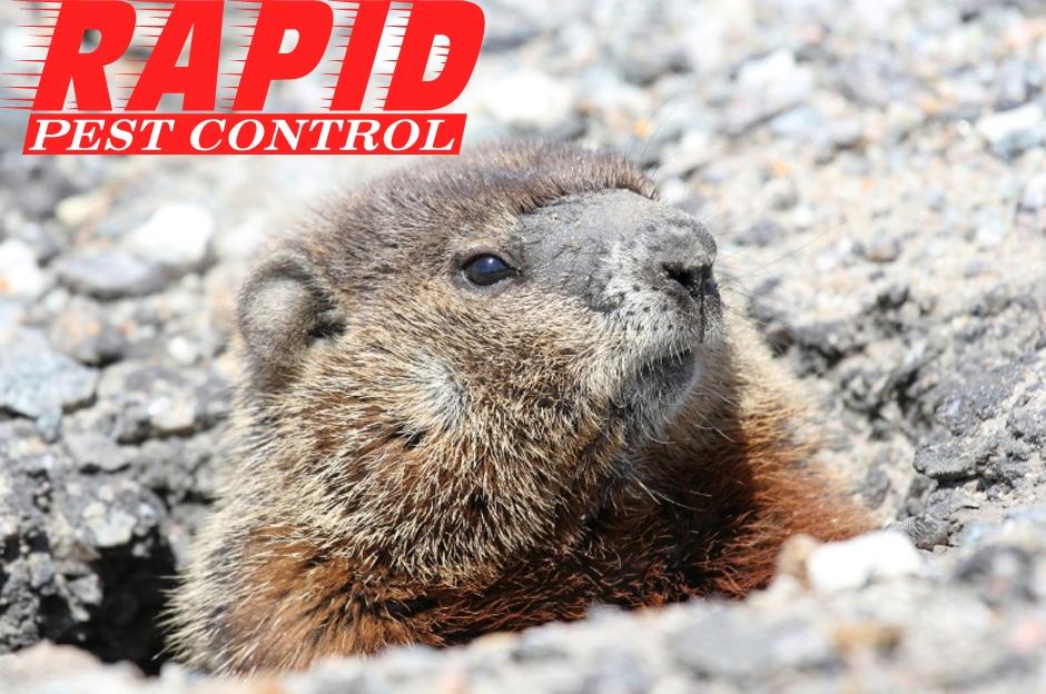 Groundhog Control London Ontario – Groundhog Removal London Ontario