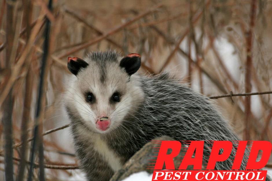 Opossum Control London Ontario – Wildlife Removal London Ontario