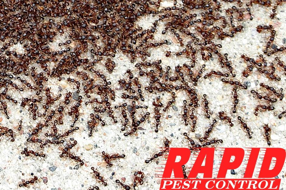 Pavement Ants Control London Ontario – Pavement Ants Removal London Ontario