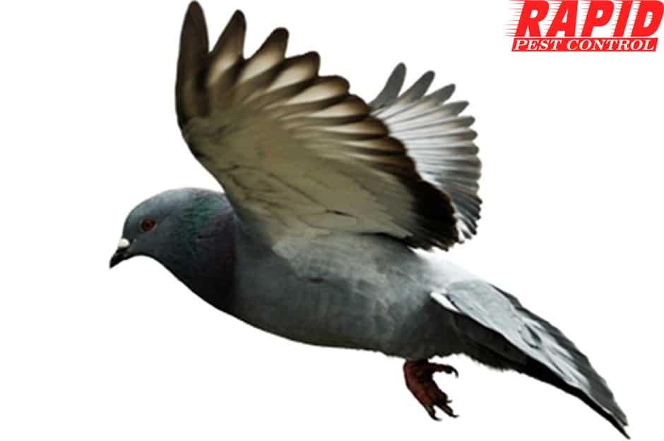 Pigeon Control London Ontario – Bird Control London Ontario