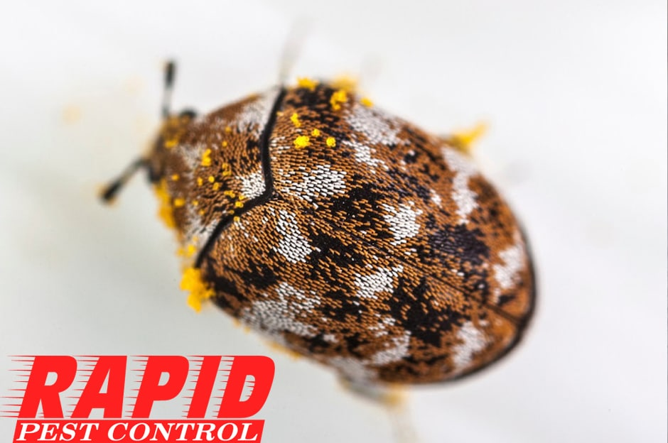 Carpet Beetle Control London Ontario