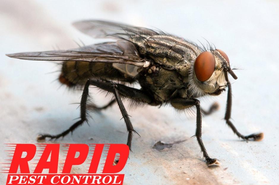 Cluster Flies Control London Ontario