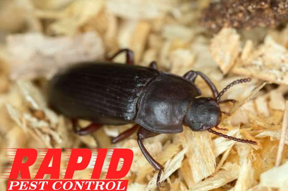 Flour Beetle Control