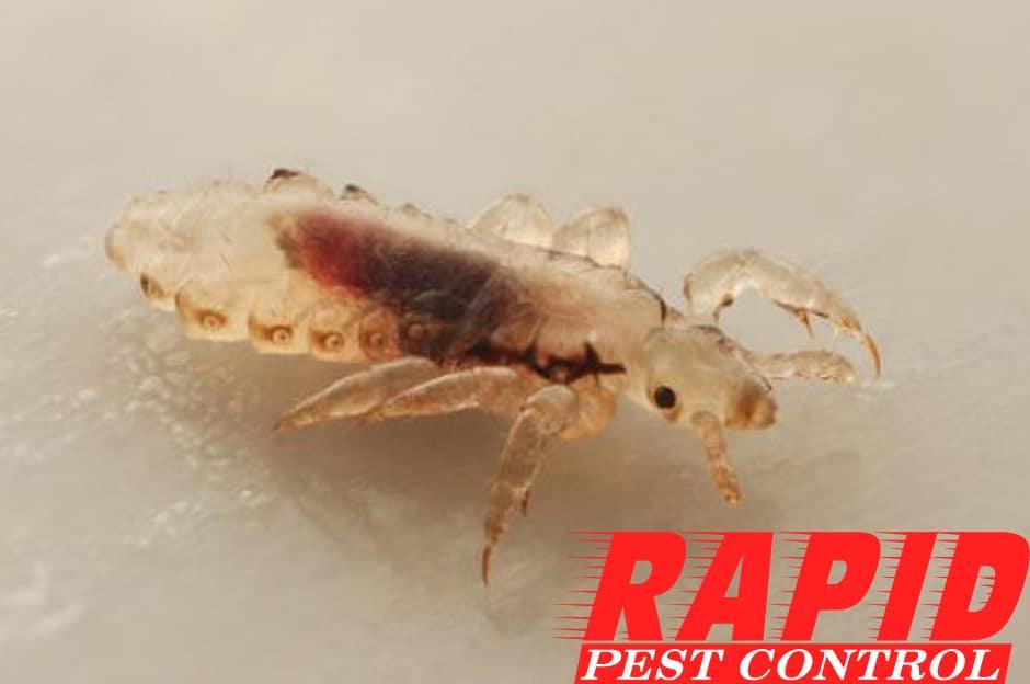 Lice Control London Ontario – Lice Removal London Ontario