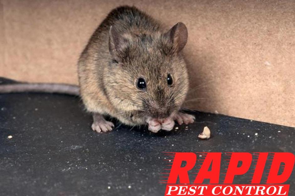 Mice Control London Ontario – Mice Removal London Ontario