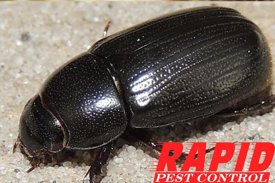 Rice Beetle Control London Ontario – Rice Beetle Removal London Ontario