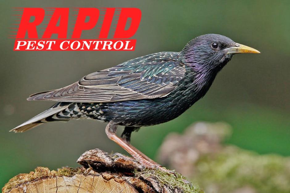 Starlings Control London Ontario – Bird Control London Ontario