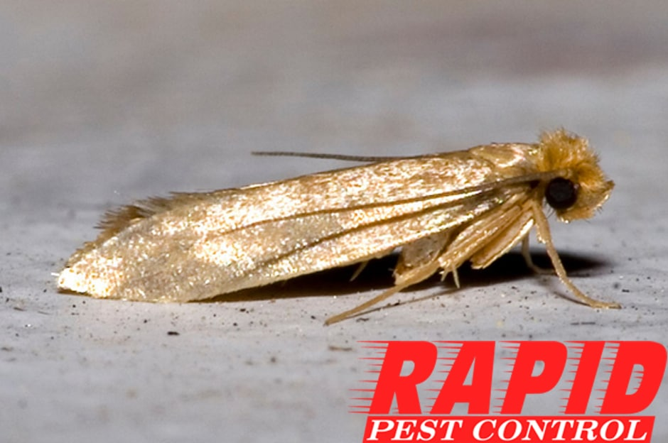 Webbing Cloth Moth Control – Webbing Clothes Moth Removal