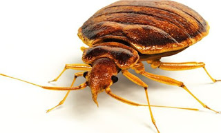 Bed Bugs A Nightmare – London ontario pest control