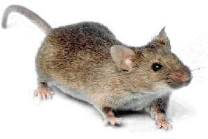 Mice Handle london ontario