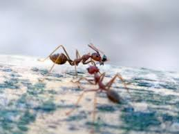 How to cope with Critters Named Contractor Ants – London Ontario Pest Control