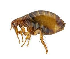 Flea Prevention