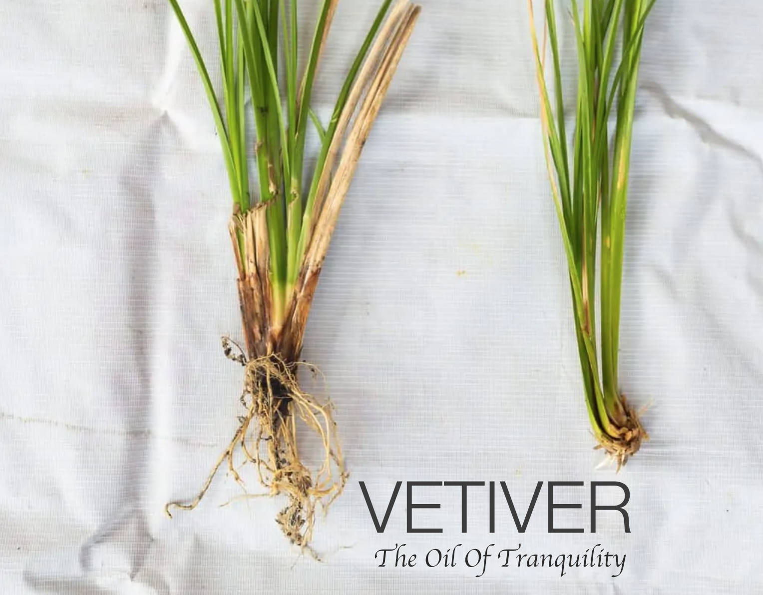 Vetiver grass and root