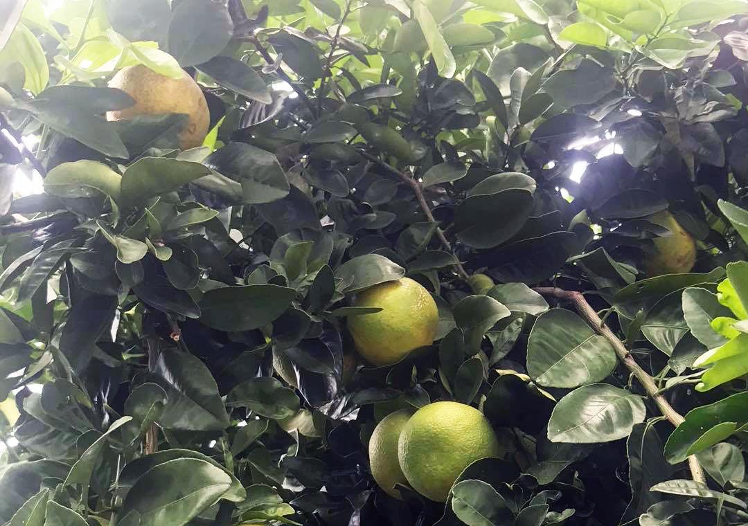Bergamot fruit tree