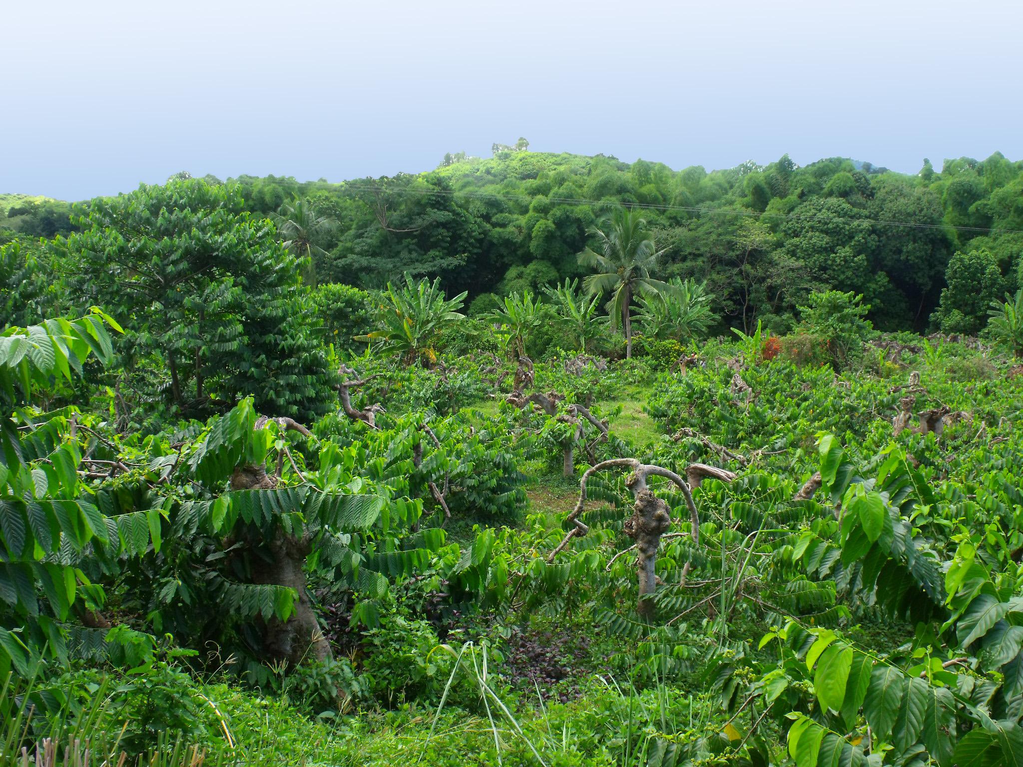 ylang ylang plantation