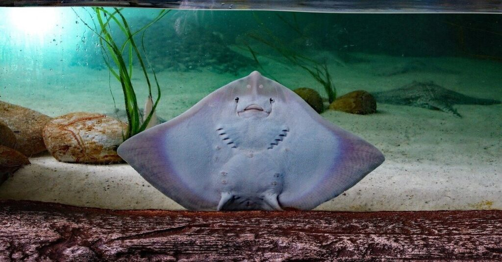 Can You Eat a Stingray