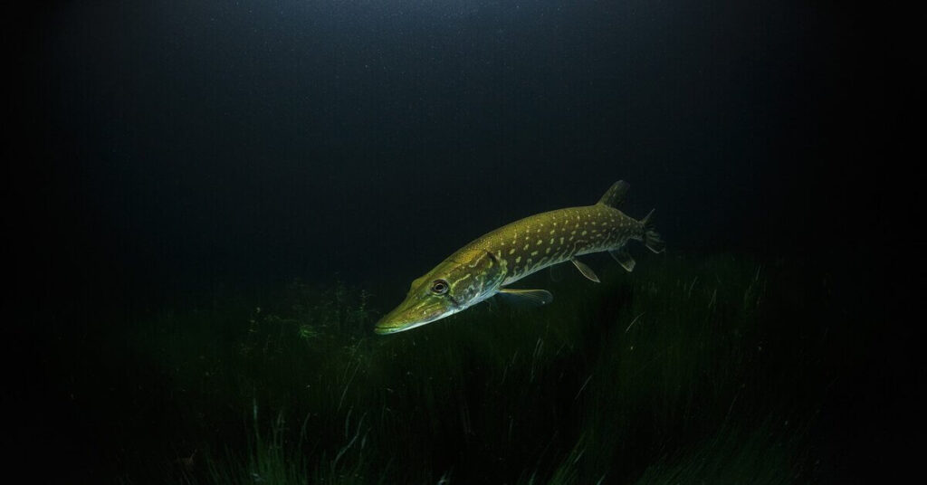 How to Fillet a Pike