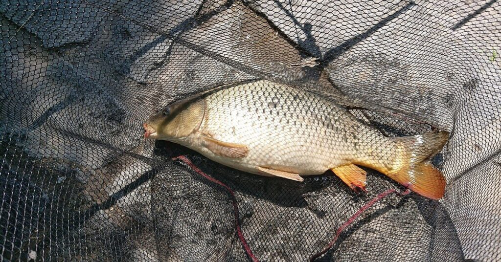 What Is an F1 Carp