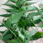 10 Excellent Benefits And Medicinal Uses of Neem for Skin, Hair And Health