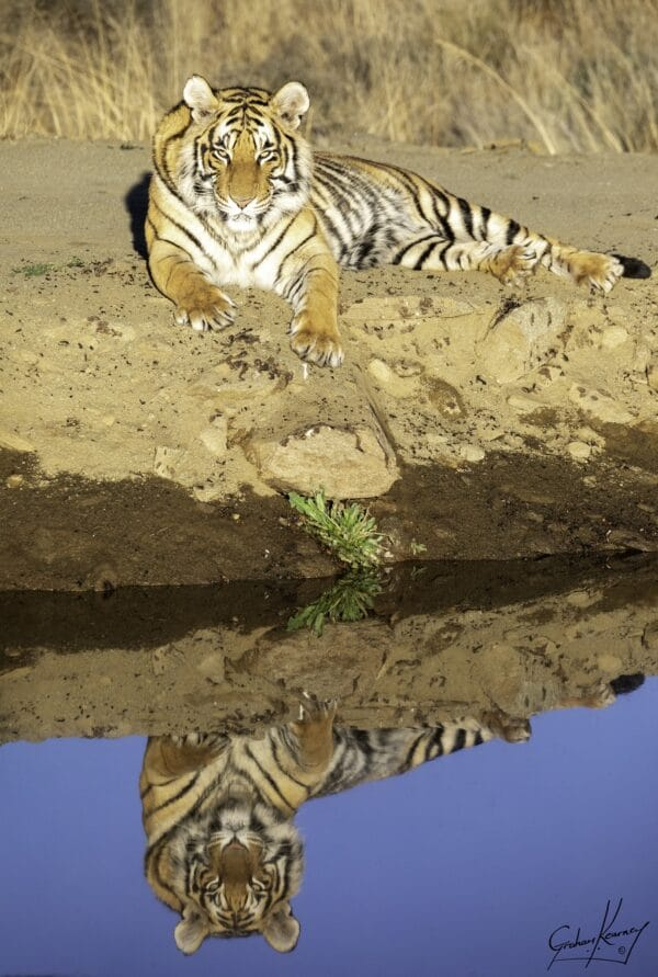 Tiger lying in the sand next to a pond with its reflection in the water at Tiger Canyon Private Game Reserve