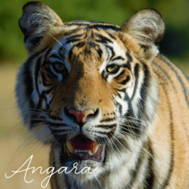 Tiger Angara at Tiger Canyon Private Game Reserve