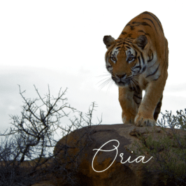 Tigress Oria at Tiger Canyon Private Game Reserve
