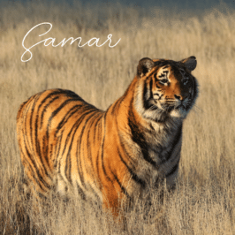 Tigress Samar at Tiger Canyon Private Game Reserve