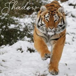 Tigress Shadow at Tiger Canyon Private Game Reserve