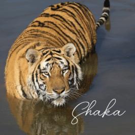 Tiger Shaka at Tiger Canyon Private Game Reserve