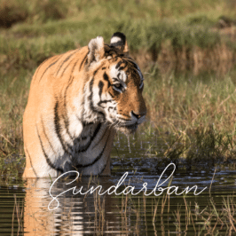Tiger Sundarban at Tiger Canyon Private Game Reserve