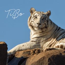 Tigress TiBo at Tiger Canyon Private Game Reserve