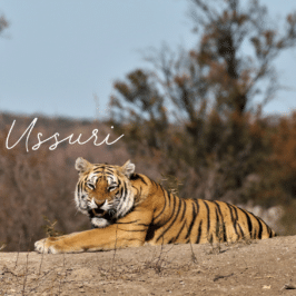 Tigress Ussuri at Tiger Canyon Private Game Reserve