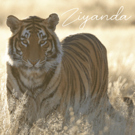 Tiger Ziyanda at Tiger Canyon Private Game Reserve