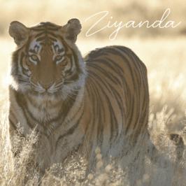 Tiger Ziyanda at Tiger Canyon Private Game Reserve