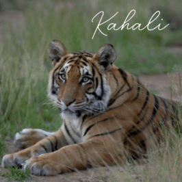 Tigress Kahali at Tiger Canyon Private Game Reserve