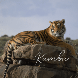 Tiger Kumba at Tiger Canyon Private Game Reserve