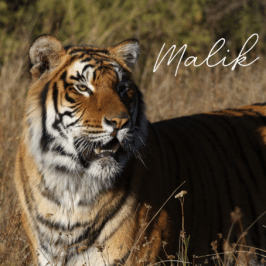 Tiger Malik at Tiger Canyon Private Game Reserve