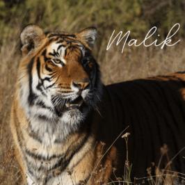Tiger Malik at Tiger Canyon Private Game Reserve