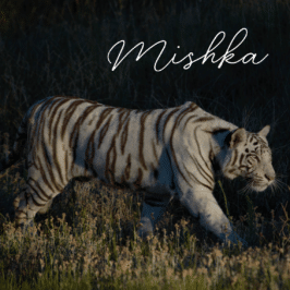 Tigress Mishka at Tiger Canyon Private Game Reserve