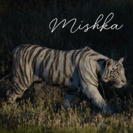 Tigress Mishka at Tiger Canyon Private Game Reserve