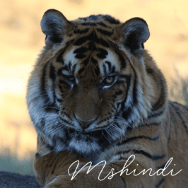 Tiger Mshindi at Tiger Canyon Private Game Reserve