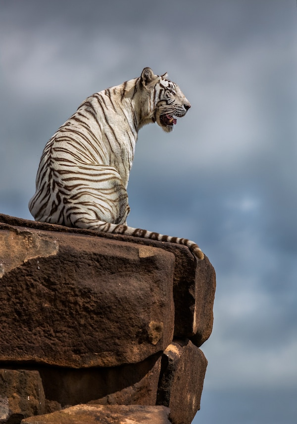 White Tiger sitting on a rock at Tiger Canyon Private Game Reserve
