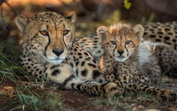 Cheetah and her cub snuggle in the grass at Tiger Canyon Private Game Reserve