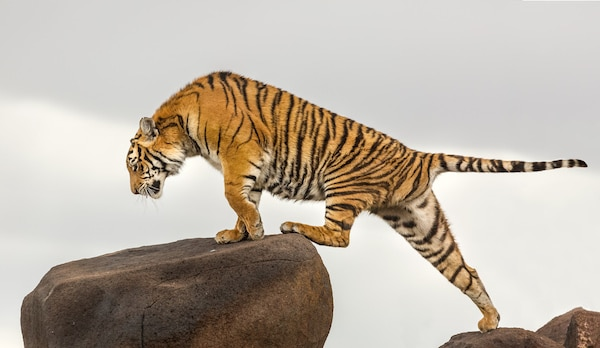 Tiger climbing across the rocks at Tiger Canyon Private Game Reserve