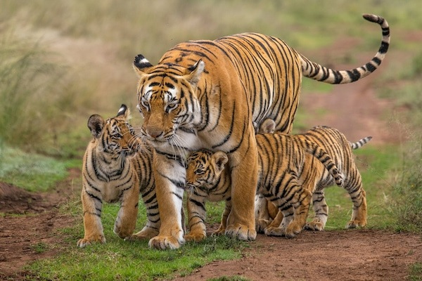 Tigress and her cubs walking at Tiger Canyon Private Game Reserve