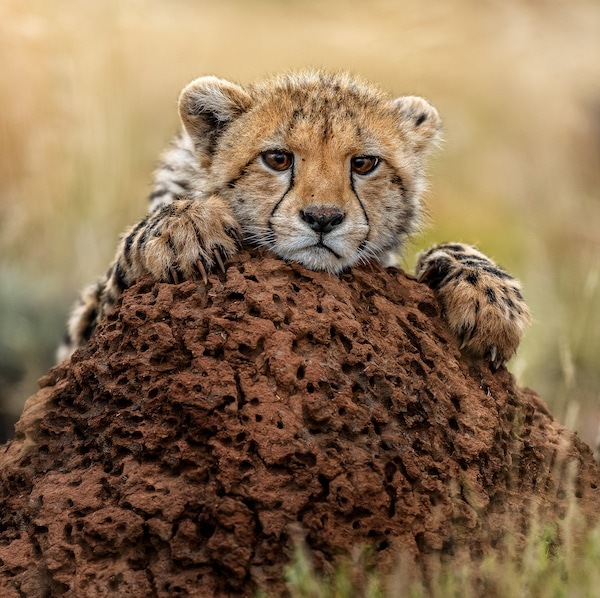 Cheetah cub perched on an anthill at Tiger Canyon Private Game Reserve