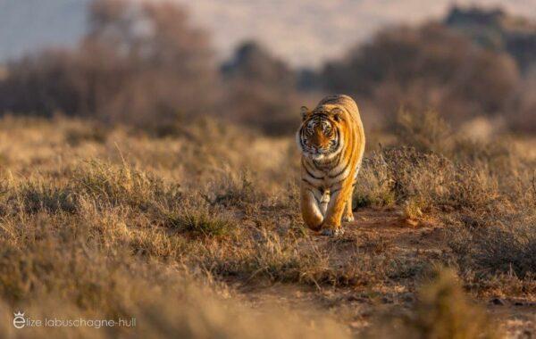 Tiger walking through grassland at Tiger Canyon Private Game Reserve